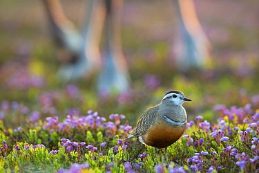 Dotterel (Charadrius morinellus) female, and Reindeer(Rangifer tarandus) legs in background amongst Blue mountain heath (Phyllodoce caerulea) flowers, Flatruet, Ljungdalsfjallen, Harjedalen, Sweden