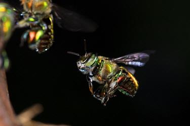 Orchid bee (Euglossa imperialis) male in flight. Golfito, Costa Rica.