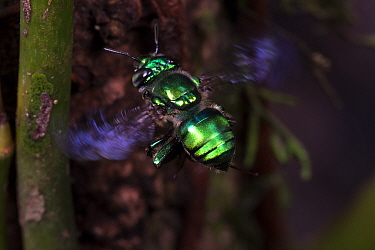 Orchid bee (Euglossa imperialis) male in flight, close up. Golfito, Costa Rica.
