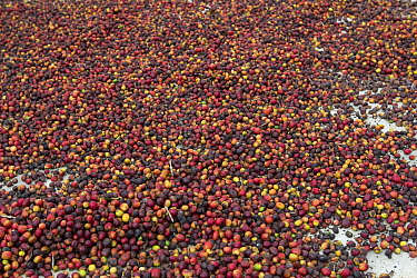 Coffee (Coffea arabica) cherries drying, beans are extracted from these fruits. Organic coffee plantation near La Amistad International Park, Costa Rica.