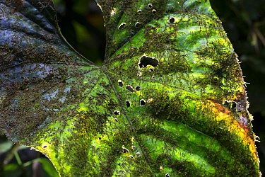 Leaf covered in epiphytes including moss, lichen and cyanobacteria. Golfito, Costa Rica.