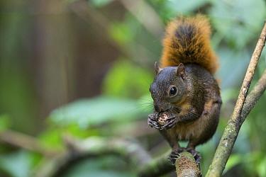 Red-tailed squirrel (Sciurus granatensis) feeding on nut. Osa Peninsula, Costa Rica.