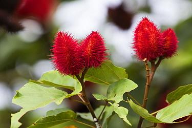 Lipstick tree (Bixa orellana) seed pods, source of the food colouring annatto. Osa Peninsula, Costa Rica.