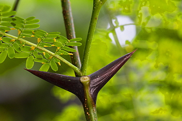 Bull horn acacia (Acacia sp), close up of thorn. The hollow thorn can provide a nest site to Ants (Pseudomyrmex sp). Osa Peninsula, Costa Rica.