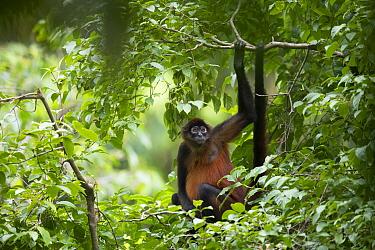 Geoffroy's spider monkey (Ateles geoffroyi) in tropical rainforest. Osa Peninsula, Costa Rica.