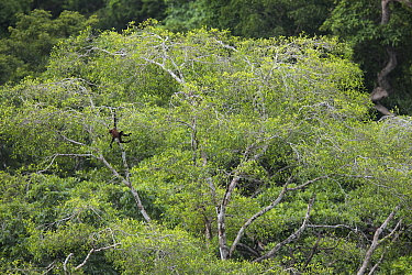 Geoffroy's spider monkey (Ateles geoffroyi) in tropical rainforest canopy. Osa Peninsula, Puntarenas, Costa Rica.