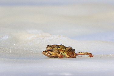 Common frog (Rana temporaria) pair mating on ice. Alps, France. June.