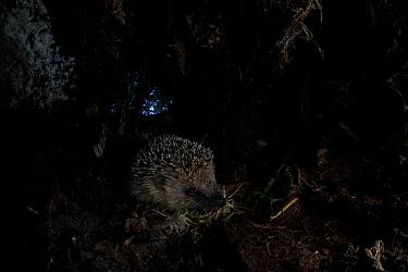 Hedgehog (Erinaceus europaeus) juvenile at night. Yonne, France. June.