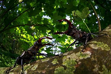 Stag beetle (Lucanus cervus), two males fighting in woodland. Yonne, France. June.