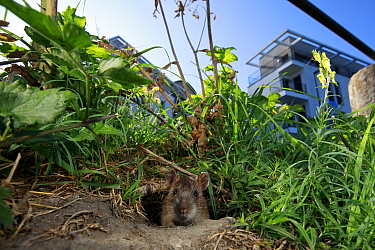 Brown rat (Rattus norvegicus) looking out of hole on bank of River Yonne, buildings in background. Sens, Bourgogne-Franche-Comte, France. September 2019.