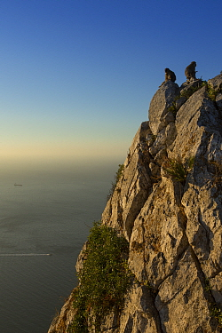 Barbary macaque (Macaca sylvanus), two sitting on The Rock at sunrise, Strait of Gibraltar in background. Gibraltar Nature Reserve, Gibraltar. July 2018.