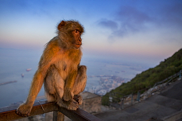 Barbary macaque (Macaca sylvanus) sitting on railing above town and sea at sunrise. Gibraltar Nature Reserve, Gibraltar. August.