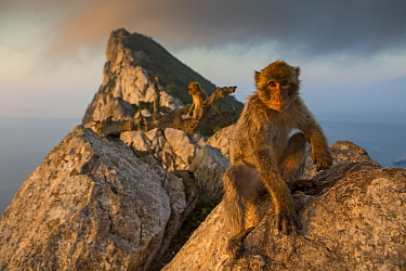 Barbary macaque (Macaca sylvanus) on The Rock at sunrise. Gibraltar Nature Reserve, Gibraltar. August.