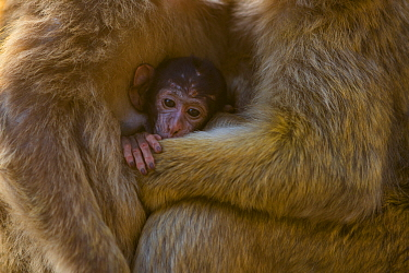 Barbary macaque (Macaca sylvanus) baby sheltering between arms of mother and another adult. Gibraltar Nature Reserve, Gibraltar. August.