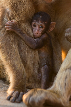 Barbary macaque (Macaca sylvanus) baby holding on to mother. Gibraltar Nature Reserve, Gibraltar. August.