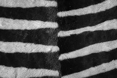 Plains zebra (Equus quagga), close up of striped fur on back. Namibia.
