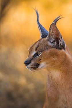 Caracal (Caracal caracal) hunting, portrait. Namibia.