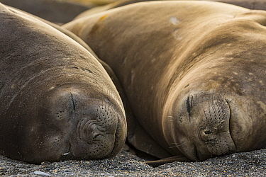Southern elephant seal (Mirounga leonina), two females sleeping. St Andrews Bay, South Georgia. October.