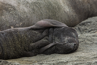 Southern elephant seal (Mirounga leonina) pup sleeping on sand. St Andrews Bay, South Georgia. October.