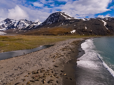 Southern elephant seal (Mirounga leonina) breeding colony on beach with King penguin (Aptenodytes patagonicus) colony inland, mountains in background. Aerial view, St Andrews Bay, South Georgia. Octob...