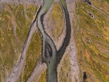 Glacier fed braided river through King penguin (Aptenodytes patagonicus) breeding colony, aerial view. St Andrews Bay, South Georgia. October 2017.