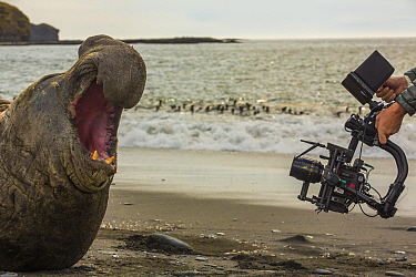 Southern elephant seal (Mirounga leonina) bull on beach with mouth open in aggression towards filming by cameraman Mark MacEwen. Taken on location for BBC Seven Worlds One Planet series. South Georgia...
