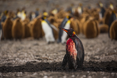King penguin (Aptenodytes patagonicus) bleeding after attack by Leopard seal (Hydrurga leptonyx), breeding colony in background. St Andrews Bay, South Georgia. November.