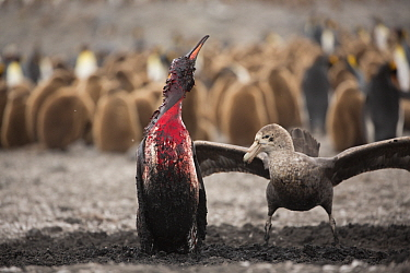 Southern giant petrel (Macronectes giganteus) attacking King penguin (Aptenodytes patagonicus), penguin bleeding after attack by Leopard seal (Hydrurga leptonyx), breeding colony in background. St And...