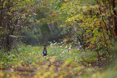 Red-necked wallaby (Macropus rufogriseus) in woodland clearing. Population naturalised after escaping from an animal park. Rambouillet forest, Ile-de-France, France. October 2019.