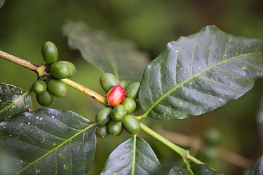 Coffee (Coffea arabica) cherries growing on tree. Organic beans produced in coffee plantation near La Amistad International Park, Costa Rica.