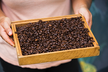 Coffee (Coffea arabica) beans held in tray. Organic beans produced in coffee plantation near La Amistad International Park, Costa Rica. 2018.