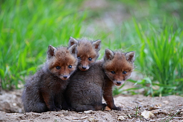 Red fox (Vulpes vulpes), three cubs huddled together outside den. Yonne France. May.
