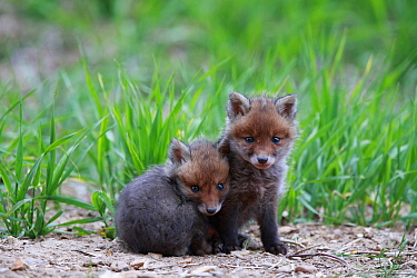 Red fox (Vulpes vulpes), two cubs huddled together near den. Yonne France. May.