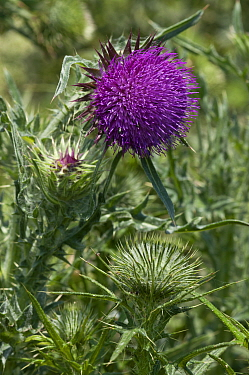Musk thistle (Carduus nutans). Surrey, England, UK. June.