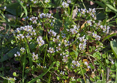Danish scurvygrass (Cochlearia danica) on road verge. Surrey, England, UK. March.