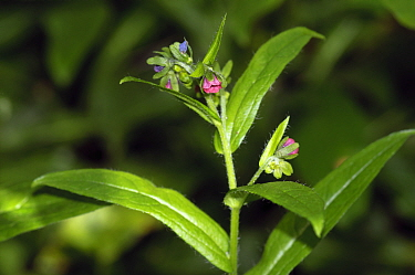 Green hound's-tongue (Cynoglossum germanicum), a locally rare plant, critically endangered within England. Surrey, England, UK. May.