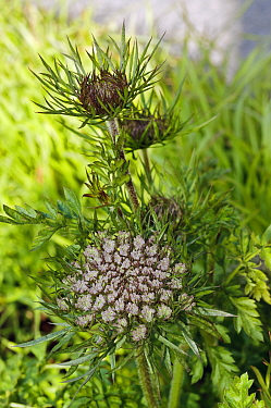 Wild carrot (Daucus carota) on road verge. Surrey, England, UK. March.