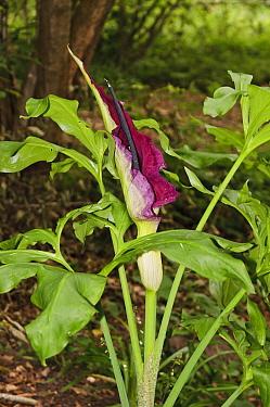 Dragon arum (Dracunculus vulgaris), naturalised in woodland. Frylands Wood, Surrey, England, UK. June.