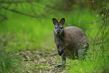 Red-necked wallaby (Macropus rufogriseus) female feeding. Wallaby population naturalised after escaping from an animal park. Rambouillet forest, France. May.