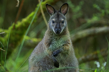 Red-necked wallaby (Macropus rufogriseus) female. Wallaby population naturalised after escaping from an animal park. Rambouillet forest, France. May.