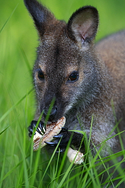 Red-necked wallaby (Macropus rufogriseus) female feeding on Parasol mushroom (Macrolepiota procera). Wallaby population escaped from an animal park, naturalised in Rambouillet forest, France. May.