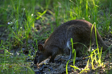 Red-necked wallaby (Macropus rufogriseus) female drinking. Wallaby population naturalised after escaping from an animal park. Rambouillet forest, France. May.