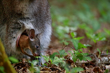 Red-necked wallaby (Macropus rufogriseus) joey in mother's pouch. Wallaby population naturalised after escaping from an animal park. Rambouillet forest, France. May.