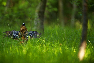 Reeve's pheasant (Syrmaticus reevesii) male displaying amongst trees. Rambouillet forest, France. May.