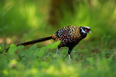 Reeve's pheasant (Syrmaticus reevesii) male. Rambouillet forest, France. May.