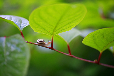 White-lipped snail (Cepaea hortensis) on invasive Japanese knotweed (Fallopia japonica). Burgundy, France. June.
