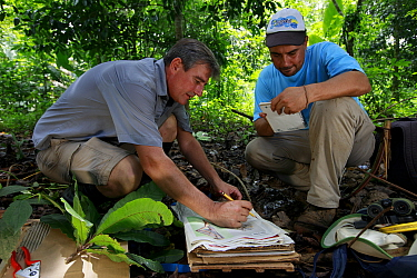 Botanist Dr. Anton Weissenhofer and colleague putting leaves into a press to create a herbarium. Leaves from trees planted in a former pasture four years previously, part of a tropical rainforest rest...