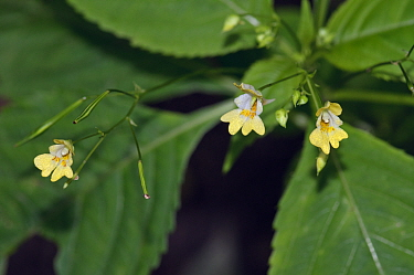 Small balsam (Impatiens parviflora). Surrey, England, UK. July.