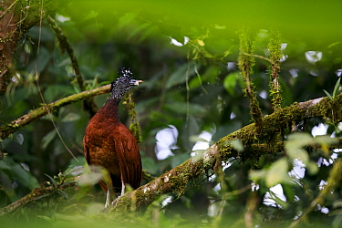 Great curassow (Crax rubra) female roosting, perched on branch in tropical rainforest. Golfito, Costa Rica.