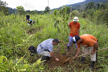 Group of people including botanist Dr. Anton Weissenhofer planting trees in pasture, part of a tropical rainforest regeneration project. Golfito, Puntarenas, Costa Rica. 2018.